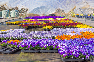 European greenhouse with  colorful flowering violets