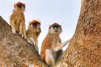 Patas Monkeys, Murchison Falls National Park Uganda (Erythrocebus patas pyrrhonotus)