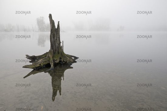 Tree stump in the water, November fog, Bislicher Insel nature reserve, Xanten, Germany, Europe