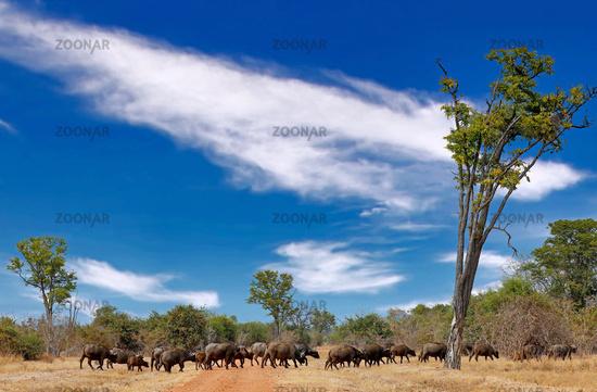 Afrikanische Bueffel, South Luangwa Nationalpark, Sambia, (Syncerus caffer) | african buffalos, South Luangwa National Park, Zambia, (Syncerus caffer)