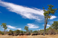 african buffalos, South Luangwa National Park, Zambia, (Syncerus caffer)