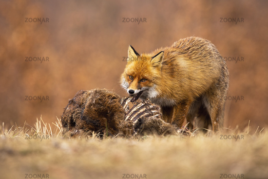 Hungry red fox feeding on meadow in autumn nature.