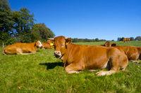 caddle cows