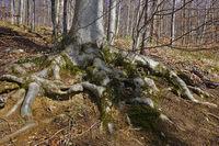 Rotbuche, Fagus sylvatica,  European beech, Wurzelgeflecht