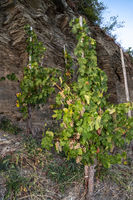 Vine with Riesling grapes