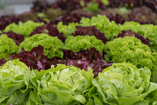 Salat im eigenen Garten reif für die Ernte - Salatmischung