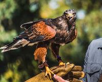 Harris's Hawk on Falconry Glove