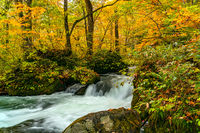 Beautiful Oirase Mountain Stream flow passing the colorful foliage in autumn season forest