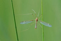 Cranefly (Tipulidae)