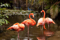 Wading pink Caribbean flamingo birds Phoenicopterus ruber
