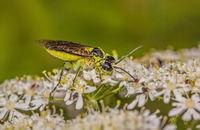 Sawfly 'Tenthredo mesomela'