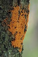Slime fungus