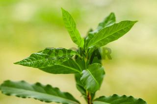 Fresh bay leaf is growing in the garden