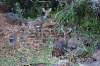 a family of dik-dik at bogoria lake national park kenya