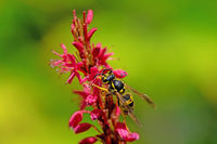 Wasp on the blossoms of a persicaria flower