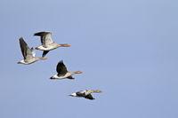 Greylag Goose small flock in flight