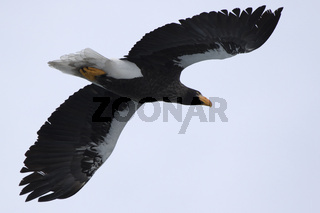 Stellers sea eagle flying over a hill on a winter day