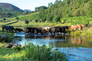 Cattle crossing the ford at Watendlath Tarn