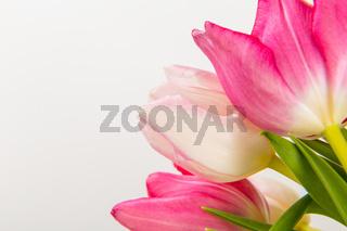 Fresh spring tulips on white