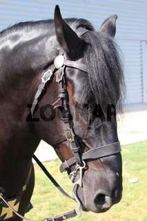 Portrait of a black frisian horse