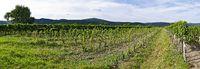new planted vineyard at Sooss