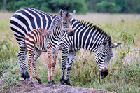 Zebras in the rain at Lake Mburo National Park in Uganda (Equus quagga)