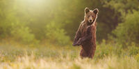 Brown bear standing on rear legs in upright position on meadow with copy space