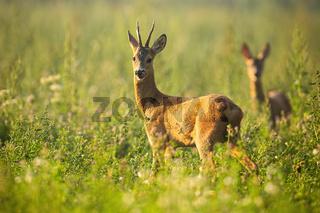 Two roe deer standing on meadow in summertime nature.