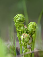 Young curled fern fronds in springtime close up