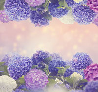 colorful hydrangea flowers for background
