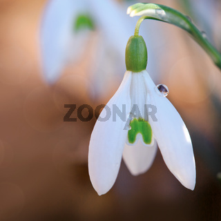 Macro shot of snowdrops flower in sunny garden . Easter card.