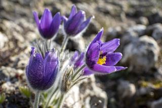 Küchenschelle im Freien im Frühling