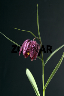 Schachbrettblume; Fritillaria meleagris;