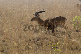 male KOB running through the tall dry grass in the savannah