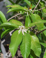 Blooming Cananga odorata Ylang-ylang flower or tropical perfume tree