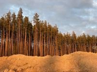 pine forest at sunset, summer evening