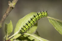 small emperor moth - caterpillar
