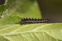 small emperor moth - caterpillar