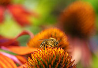 Bee collecting nectar at a coneflower blossom
