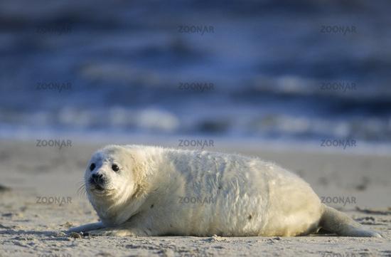 Grey Seal pup watching wakefully his environment