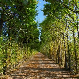 Buchenallee - beech-lined road 02