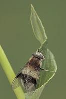 Leucozona lucorum
