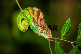 Colorful chameleon on a branch of a tree