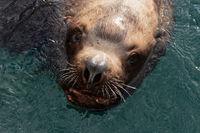 Wild sea mammal animal Steller Sea Lion swims in cold water Pacific Ocean