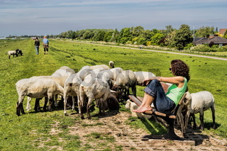 Idyll with sheep in Glückstadt, Germany