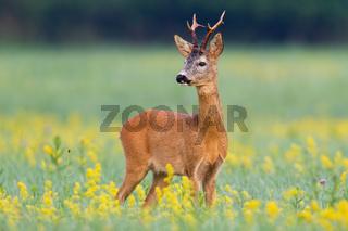 Elegant roe deer buck looking behind over shoulder on flourishing summer meadow