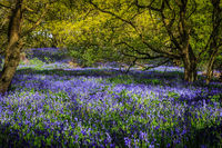 Bluebells on a sunny day