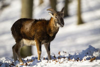 Smiling mouflon with fluffy winter coat and short horns in the snowy forest