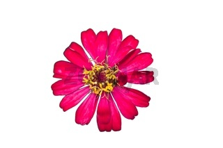 Beautiful Pink flower of zinnia isolated on white background.