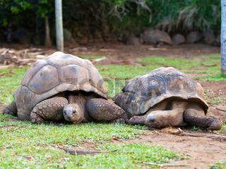 two Big Seychelles turtles